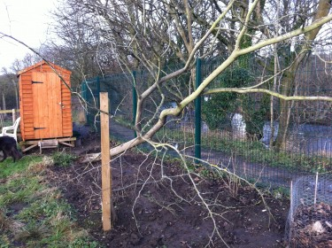 Fallen wych elm at our Yorkshire allotment