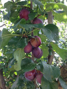 Our plum tree