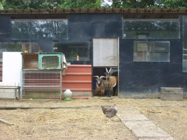 A chance for allotment humour: goats