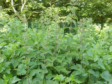 nettles, allotment