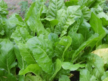 Perpetual spinach - worth mentioning in the allotment blog