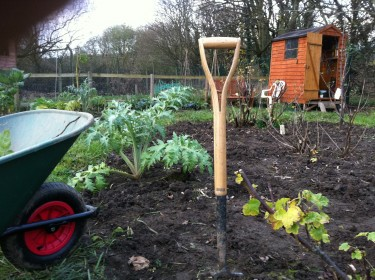 Globe artichoke plant and wheelbarrow on our Yorkshire allotment