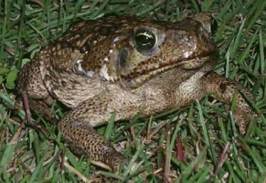 Old toad: a photo for the allotment blog